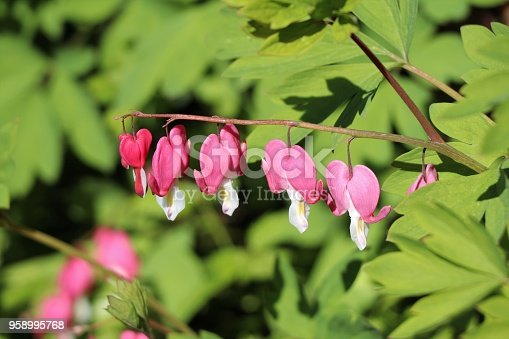 Dicentra spectabilis flowers - Tränendes Herz