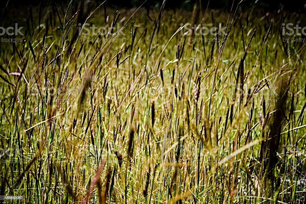 Dichanthium annulatum, Sheda Grass, bluestem, Diaz bluestem, stock photo