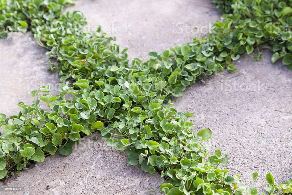 Dichondra Ground Cover Between Concrete Pavers stock photo