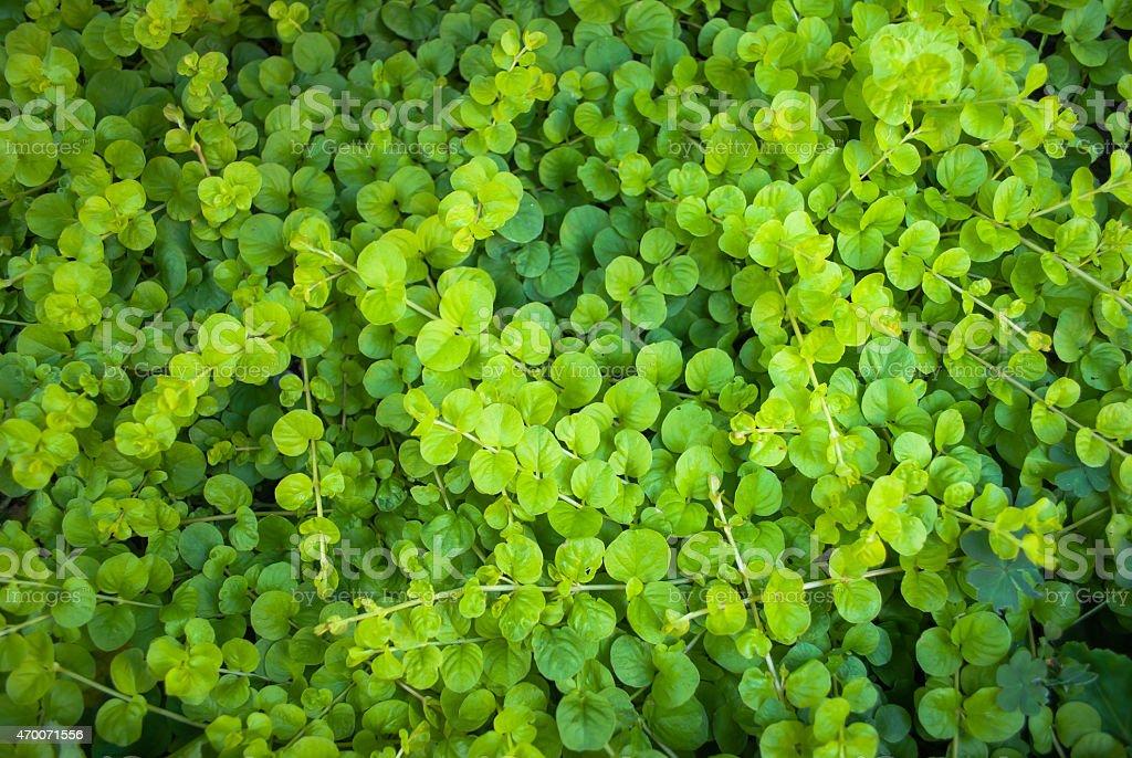 Dichondra Repens plant stock photo