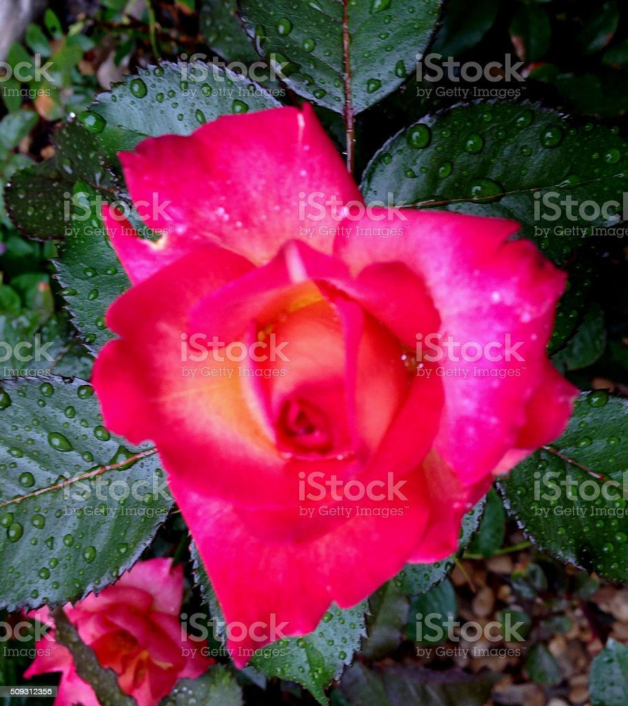 'Dick Clark' Heart in Nature stock photo