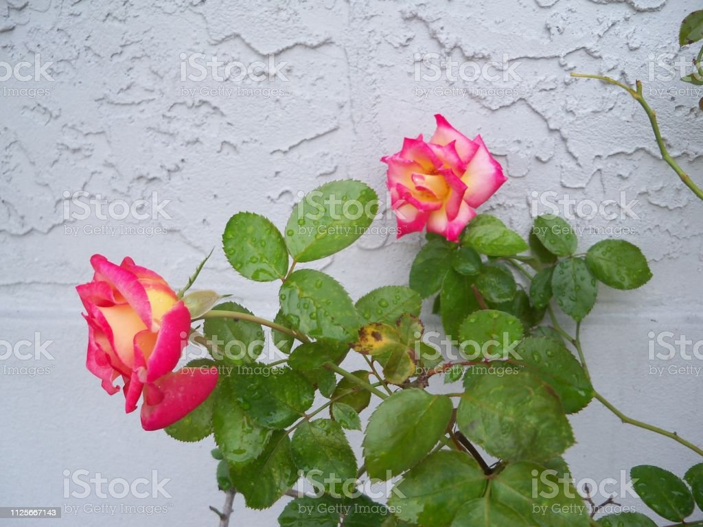 Dick Clark Roses stock photo