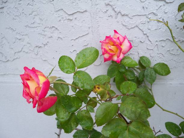 Dick Clark Roses Cream and pink Dick Clark Roses against a gray stucco wall. Dick stock pictures, royalty-free photos & images