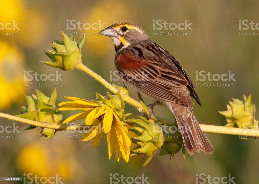 Dickcessal Bird. Dickcessal Bird perched. Animal Stock Photo