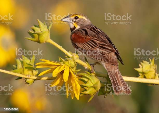 Dickcessal Bird Stock Photo - Download Image Now