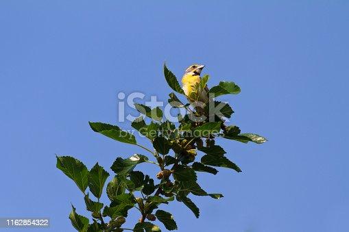 Dickcissel bird.