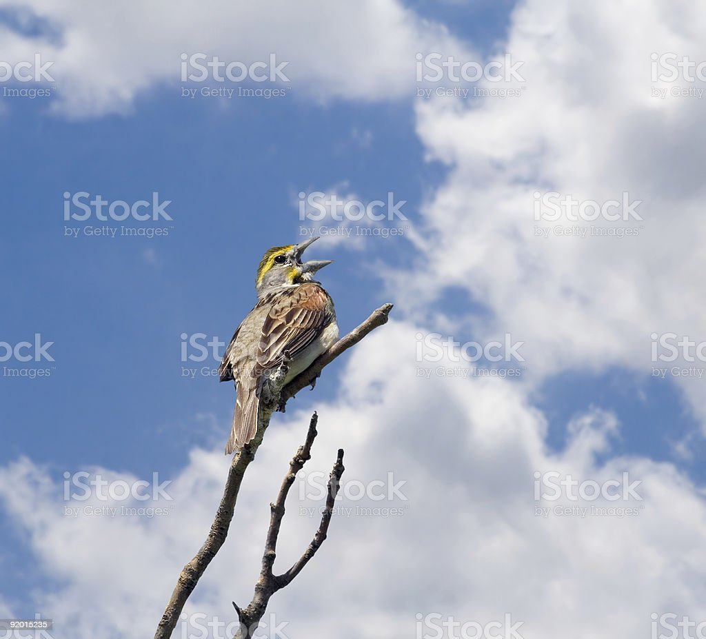 Dickcissel royalty-free stock photo