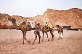 Shot of camels in the desert