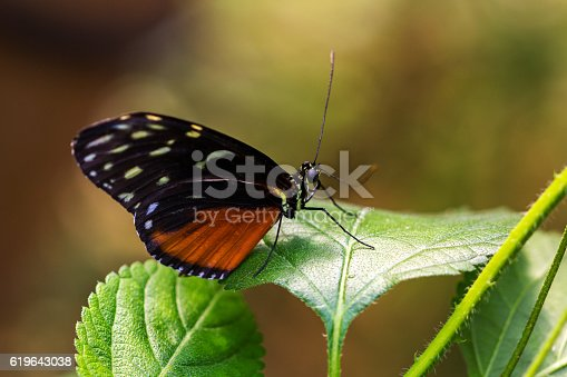 Close-up of tropical butterfly scarce bamboo page on the leaf. Macro photography of wildlife.