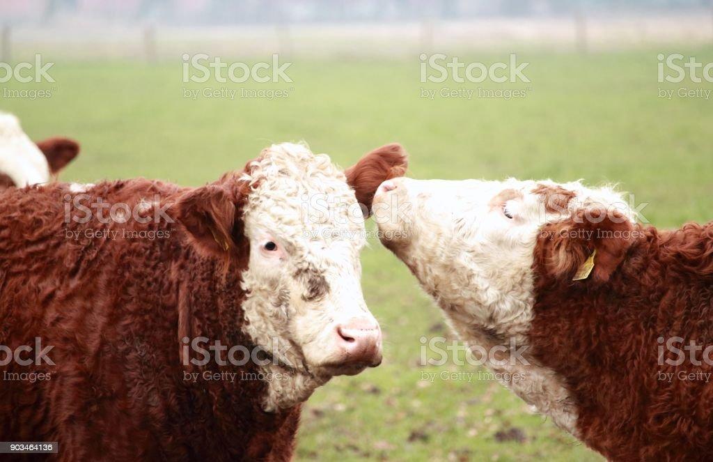 die Herde stock photo