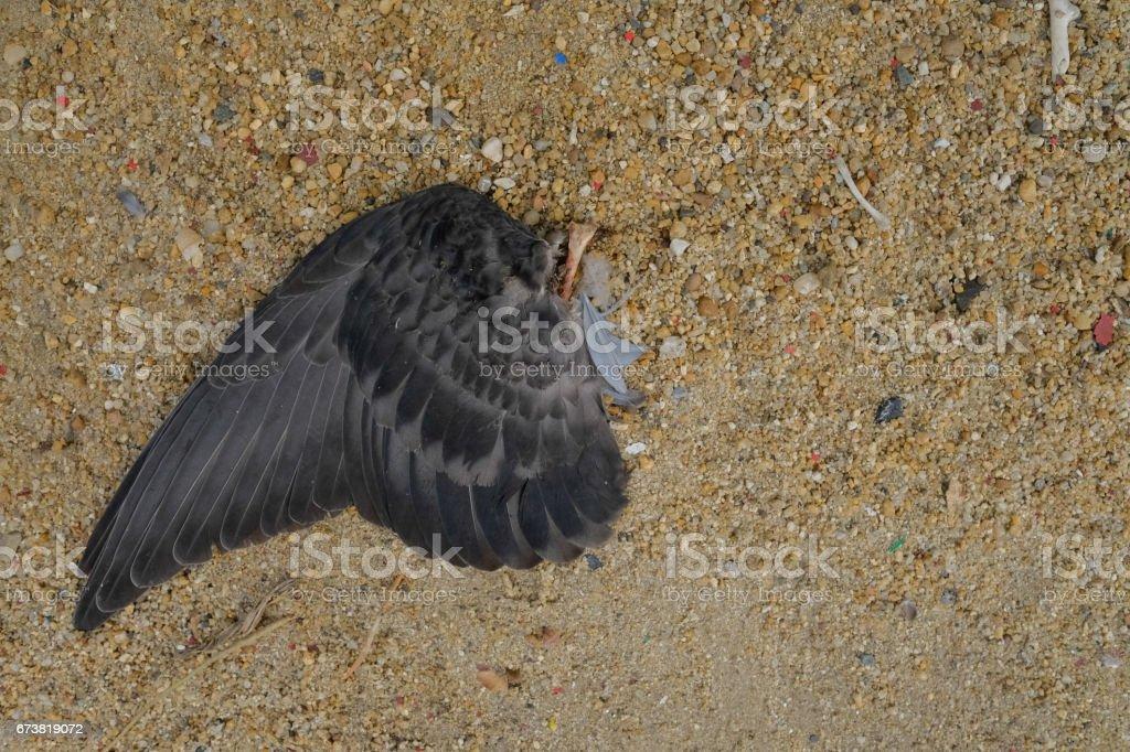 Die aile de Pigeon sur le sol. (Mise au point sélective) photo libre de droits