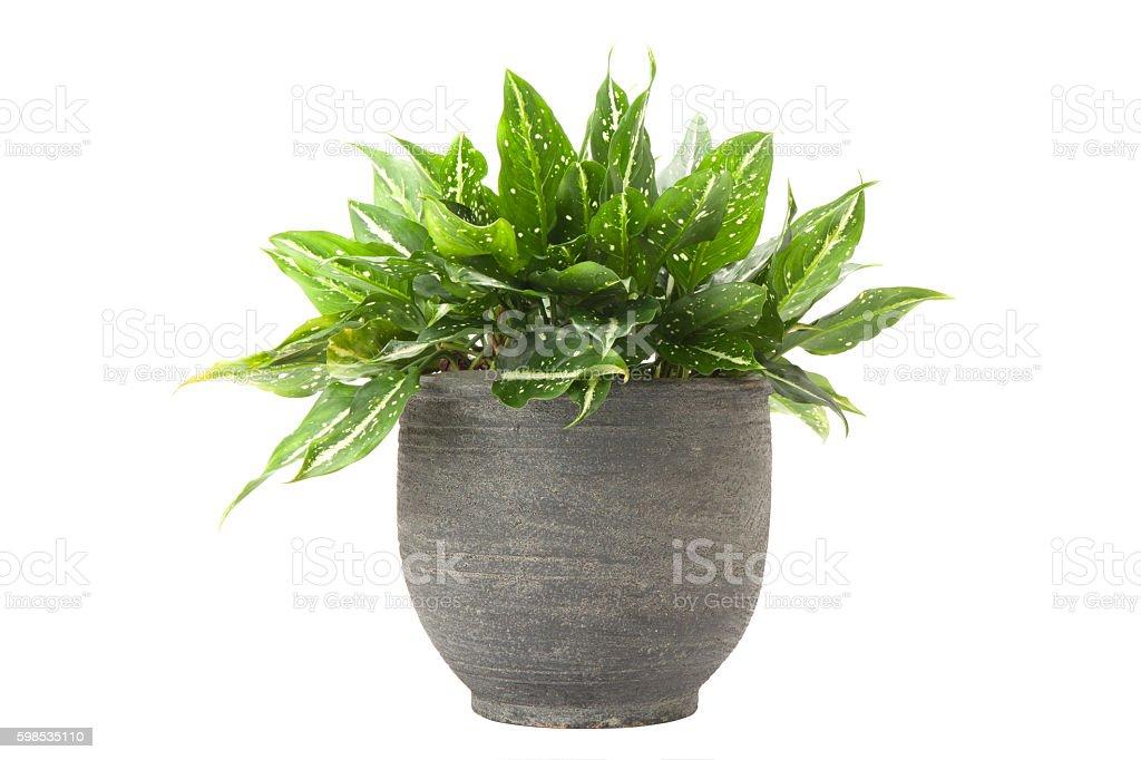 Dieffenbachia in flowerpot stock photo