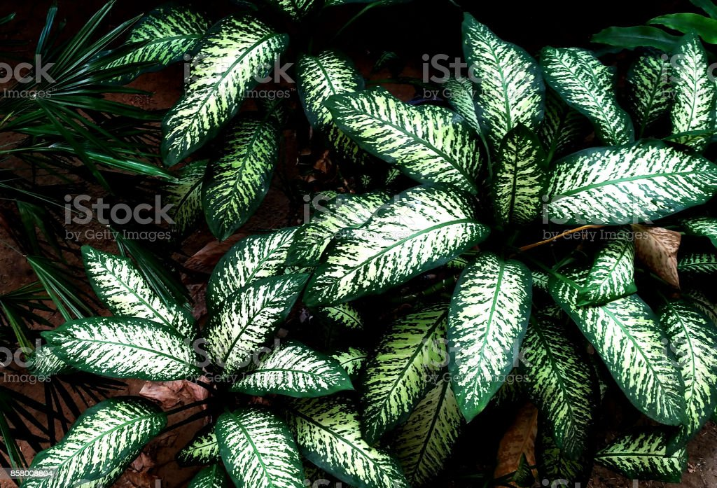 Dieffenbachia tropical green leaf, high contrast stock photo