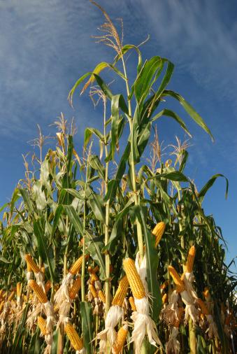 diferent corn plantation