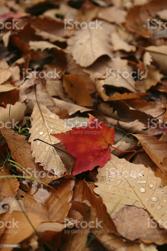 Difference: Red Leaf Standing Out royalty-free stock photo