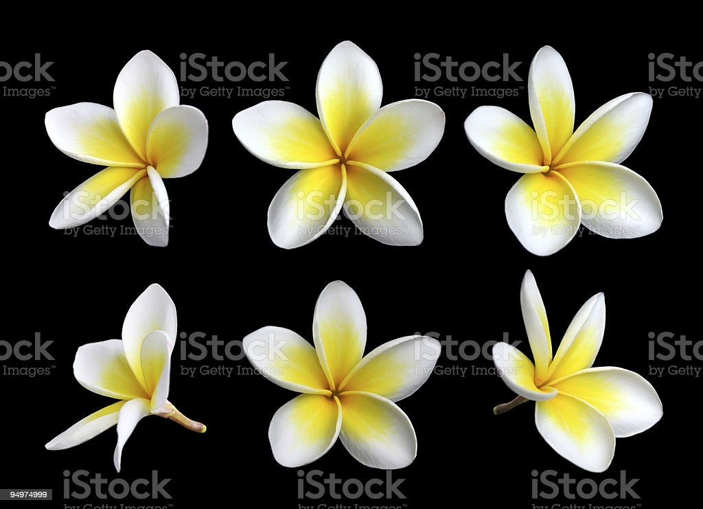 Different angles of Frangipanis tropical flowers royalty-free stock photo