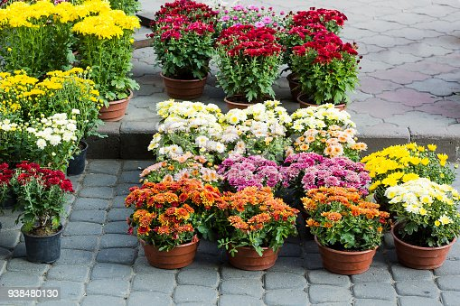 Different Chrysanthemums small flowers in flowerpots sold in garden center. Colorful  chrysanths flower