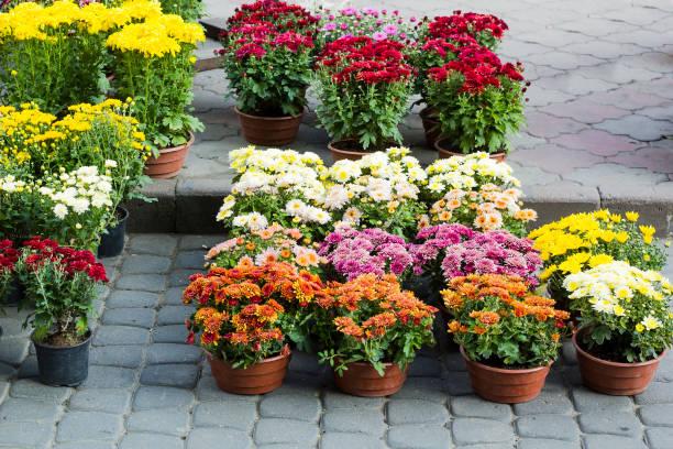 verschillende chrysanten bloemen in pot te koop - chrysant stockfoto's en -beelden
