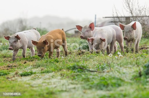 4 different coloured piglets looking into the camera