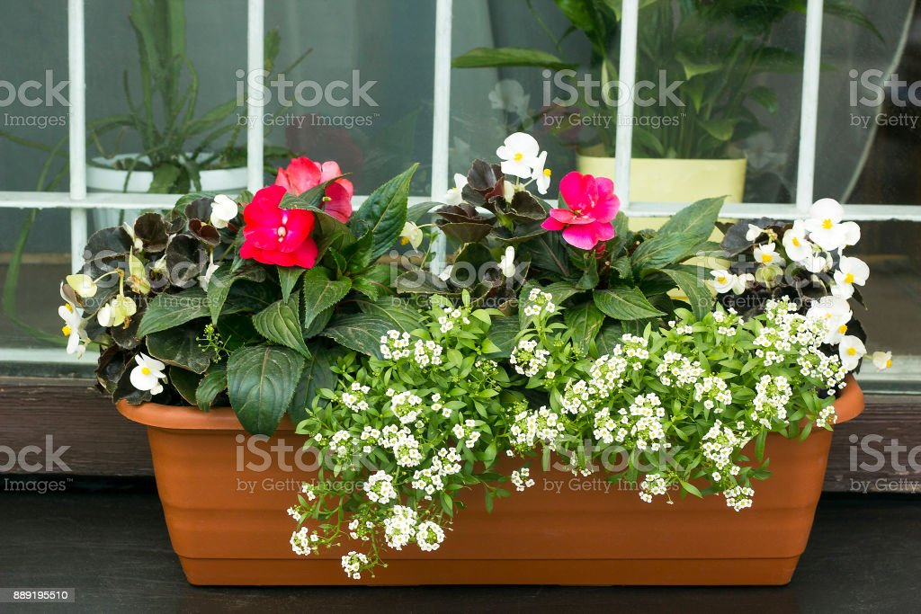 Different flowers Begonia and sweet alyssum stock photo