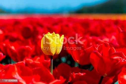Close up of a single yellow tulip among a field of red tulips growing in Holland.