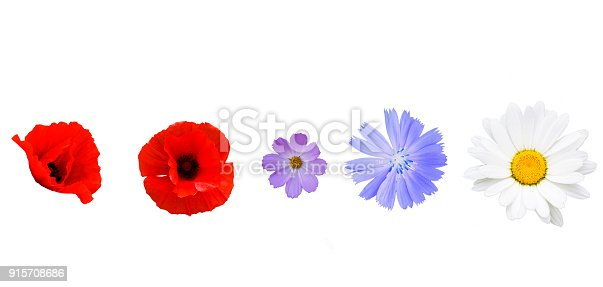 Different garden flowers isolated on white background. Poppy, cichorium, cosmos, daisy flower on white
