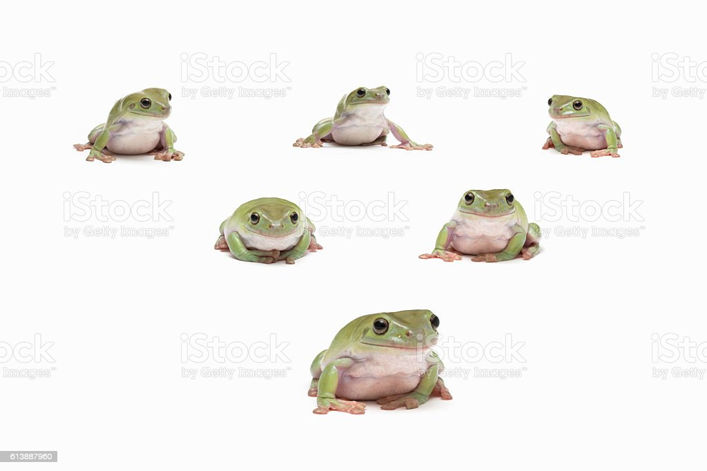 Different green tree frogs stock photo