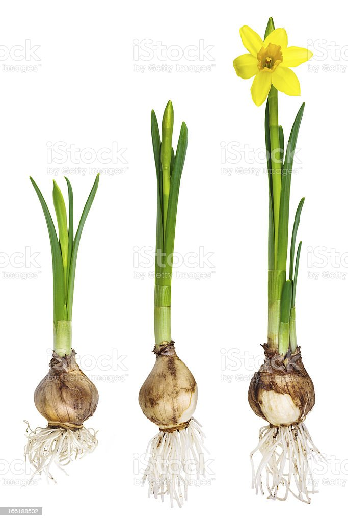 Different growth stages of a narcissus stock photo