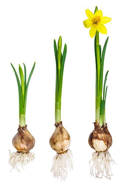 les différentes étapes de narcisse croissance - plante à bulbe photos et images de collection