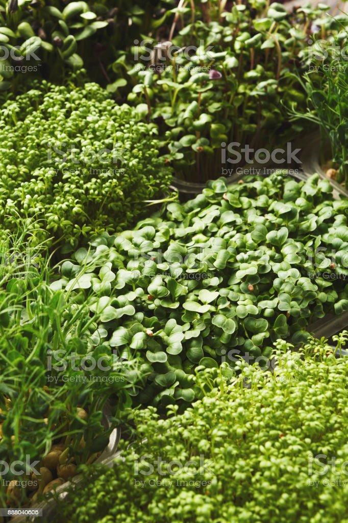 Diferentes tipos de micro greens - foto de stock
