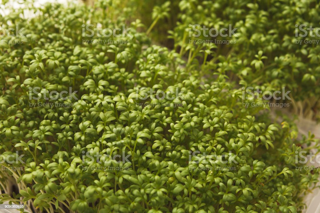 Different kinds of micro greens stock photo