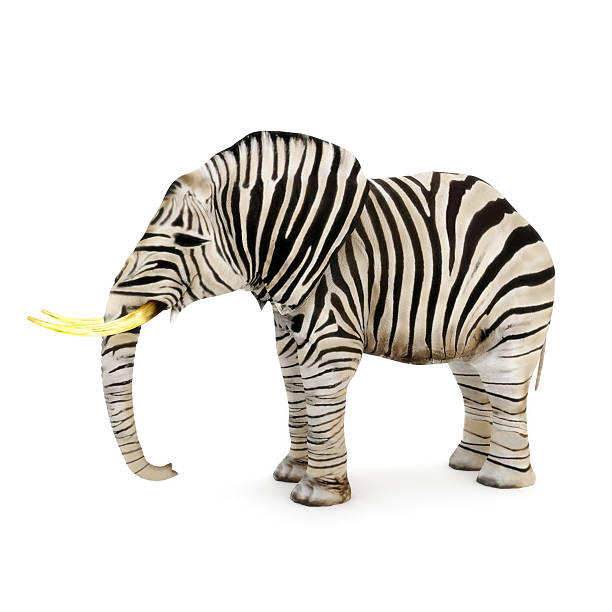 different - zebra stock photos and pictures
