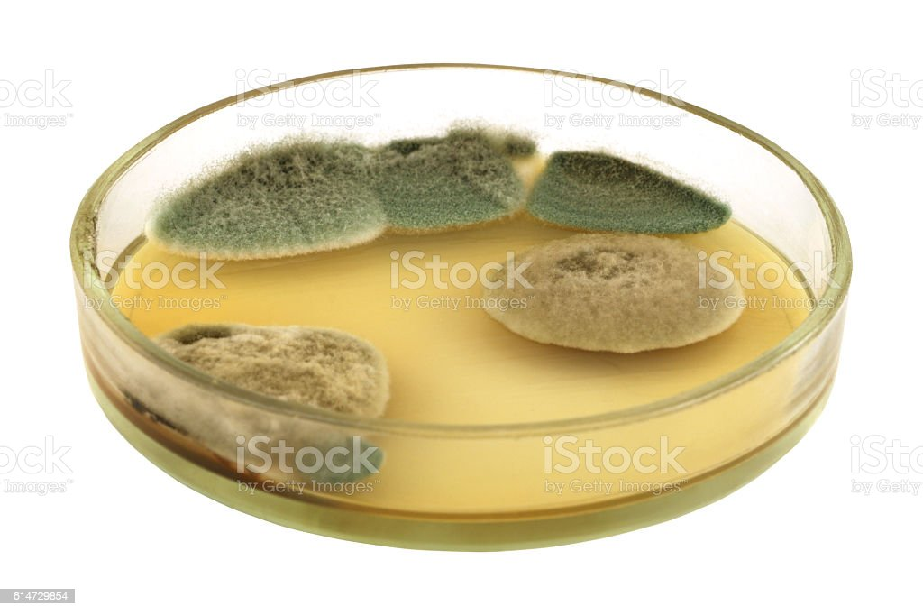Different puffy fungal  colonies on agar plate isolated stock photo