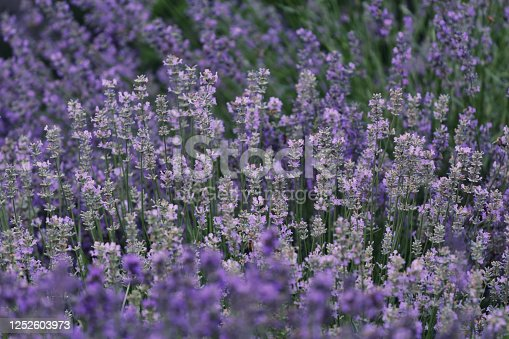 blooming lavender flowers with different shades of purple - different cultivars
