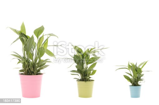 Peace Lilies in different sizes