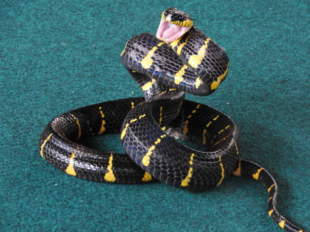 different snakes middle plan on a blue background in the process drisserovki. - snake strike stock photos and pictures