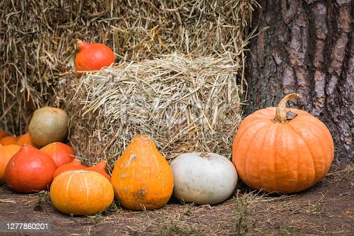 A variety of colorful squashes and pumpkins on the ground with the hay stacks, seasonal greetings postcard concept, toned
