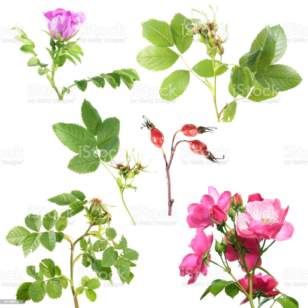 Different Types Of Rose With Flowers And Rose Hips Isolated On White