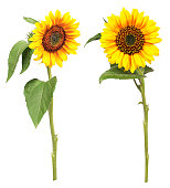 Two sunflowers photographed from the front and side, isolated.