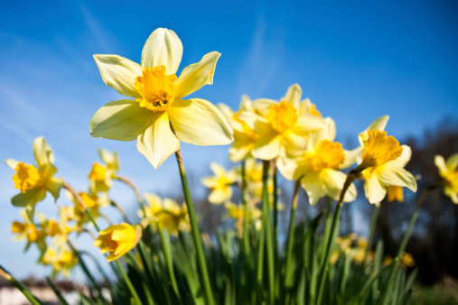 Differential focus of daffodils with morning dew