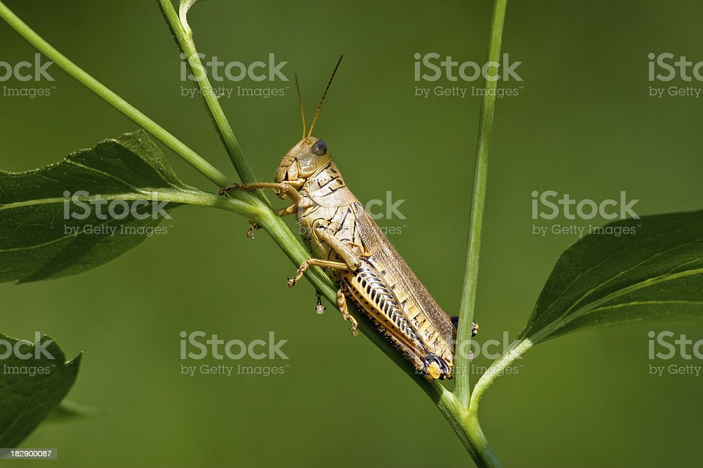 Differential Grasshopper Laying Eggs stock photo