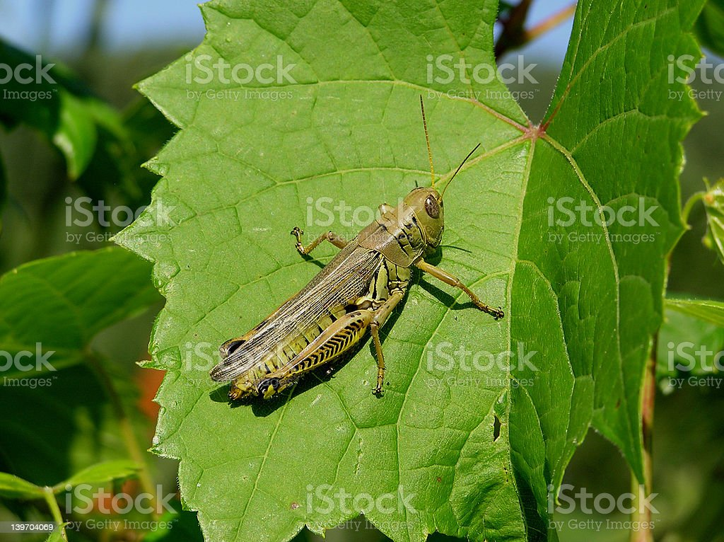 Differential Grasshopper royalty-free stock photo