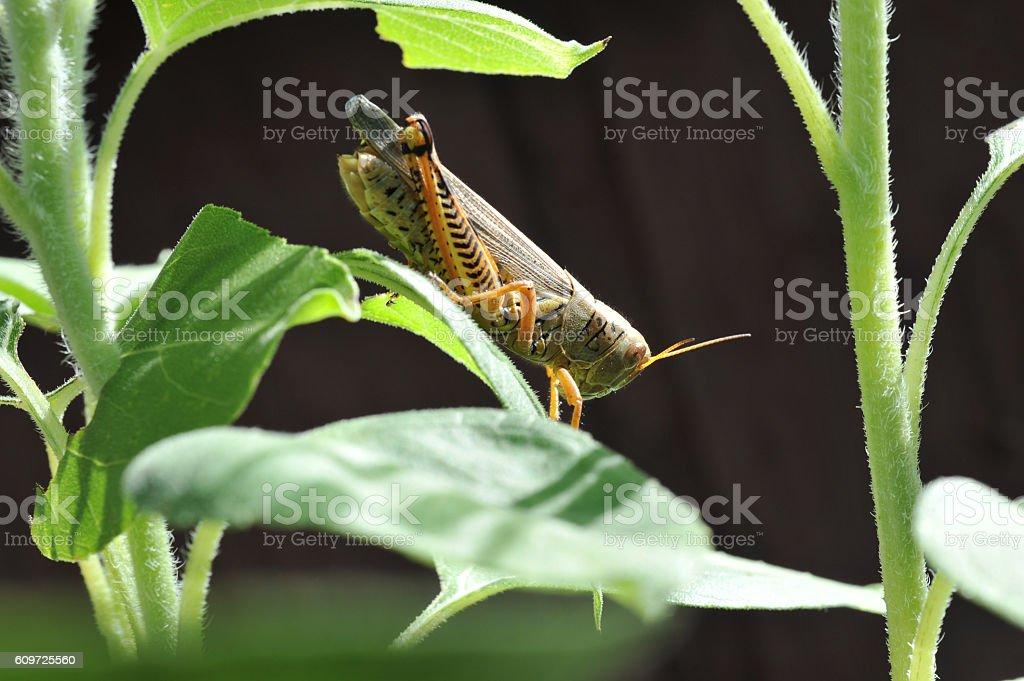 Differential Grasshopper stock photo