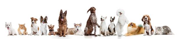 beyaz bir arka plan üzerinde izole kamera bakarak değişik köpekler - safkan köpek stok fotoğraflar ve resimler