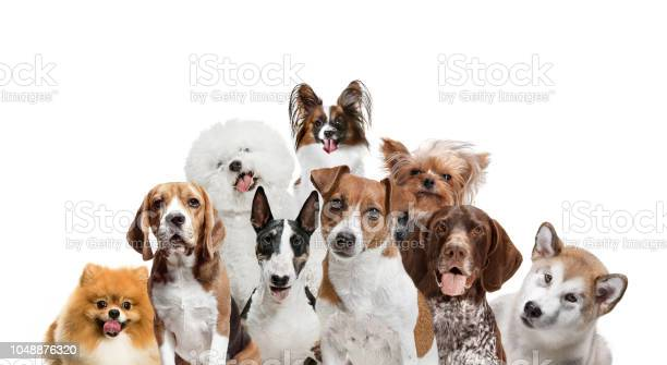 Differents dogs looking at camera isolated on a white background picture id1048876320?b=1&k=6&m=1048876320&s=612x612&h=8x syuwtcgrrzajf29xkcgq zscqo bxarehrn vtdo=