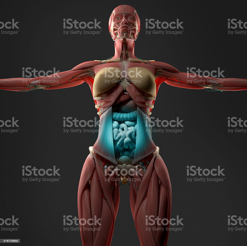 Digestion Or Indigestion Shown On Female Abdomen Anatomy Model Stock ...