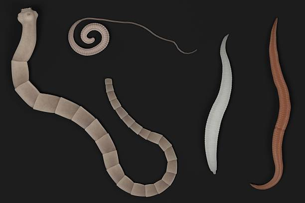 Royalty Free Flatworm and Stock s