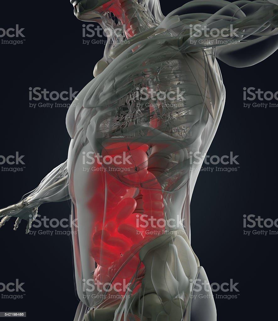 Digestive system, human anatomy, xray like futuristic scan. 3d illustration. stock photo