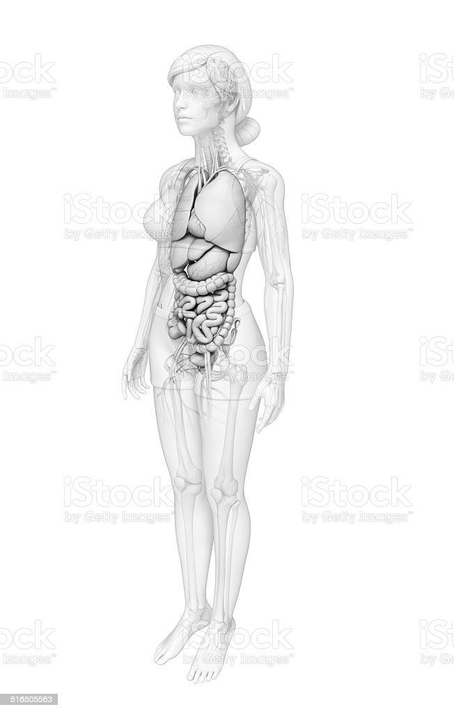 Digestive System Weibliche Anatomie Stock-Fotografie und mehr Bilder ...
