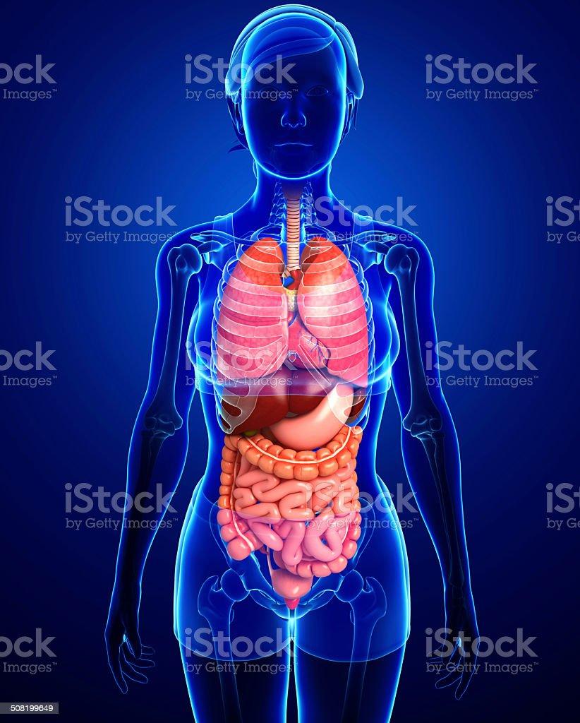 Digestive System Der Weibliche Körper Stock-Fotografie und mehr ...